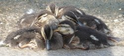 Ducklings huddle together to stay warm.